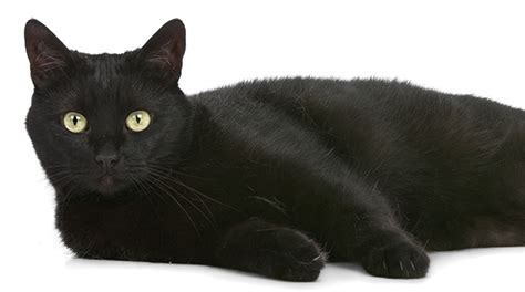 Black Cat with Fluffy Tail