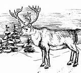 Elk Coloring Winter sketch template