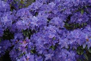 Rhododendron Blaue Mauritius : 6 rhododendron zwerge zur freien auswahl rhododendron ~ Lizthompson.info Haus und Dekorationen