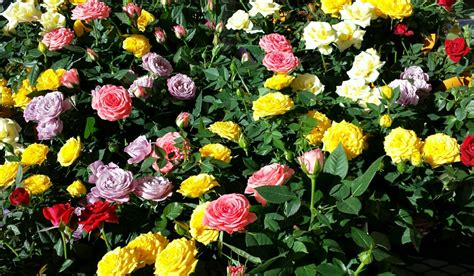 mini roses star nursery blog desert rose