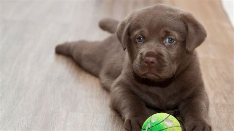 labrador puppy play ultra hd wallpaper
