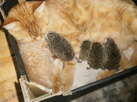 una mama gato adopta  unos adorables erizos bebes fotos