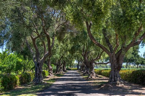 olive trees california olive trees at clairmont farms los olivos ca flickr photo sharing