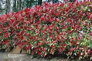 Photinia Fraseri Robusta Compacta : photinia red robin flower egardens plantsonline shrubs ~ Buech-reservation.com Haus und Dekorationen