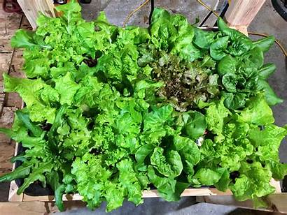 Lettuce Hydroponic Grow Plants Nosoilsolutions Beginner Hydroponics