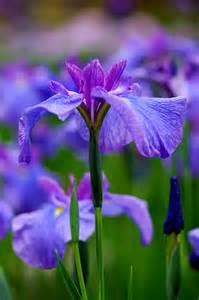 Purple Iris Flower Field