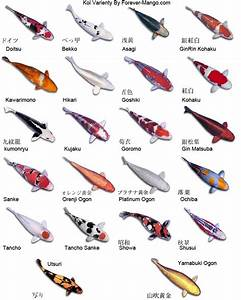 Various Types of Koi Fish and Their Color Pattern Exotic