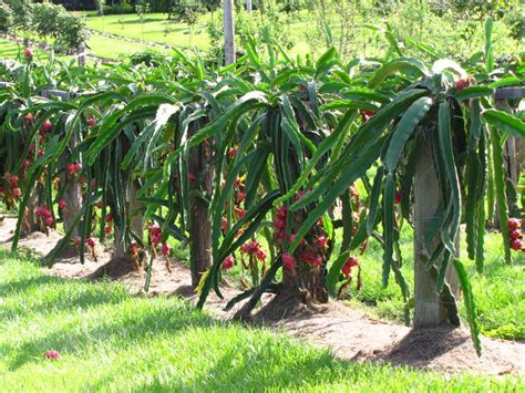 How To Grow Dragon Fruit  Growing Dragon Fruit (pitaya