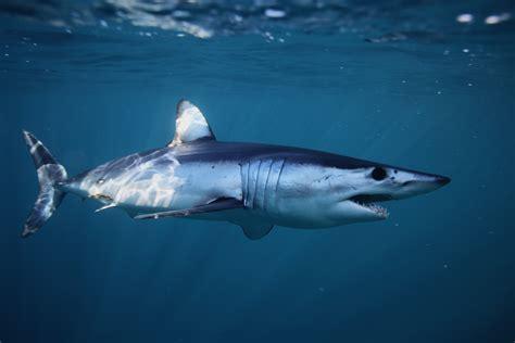 maketimeformakos fastest shark alive races overfishing