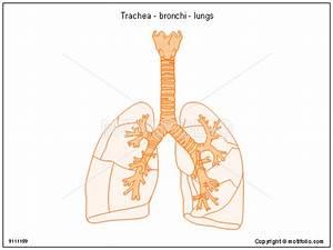 Trachea - Bronchi