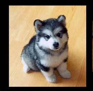 This is a full grown Pomsky-husky Pomeranian mix.I REALLY ...