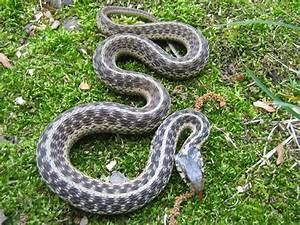 Garter Snake Information & Facts | Snakes | Pinterest ...