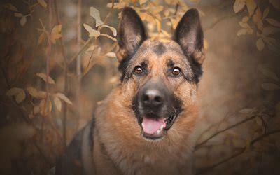 wallpapers  german shepherd autumn dogs