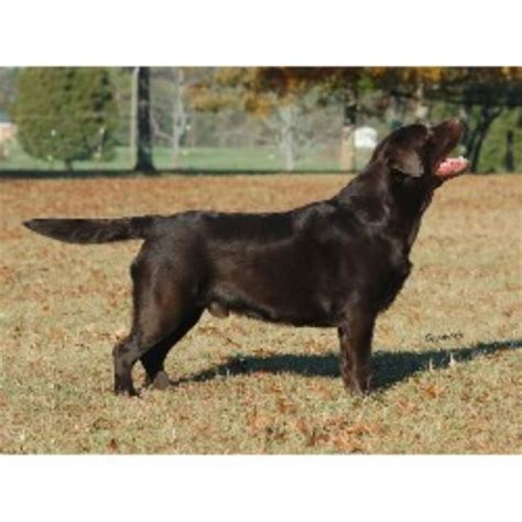 chesapeake bay retriever vs lab shedding c labradors labrador retriever stud in sewell new