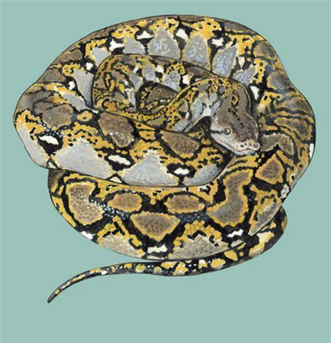 adw python reticulatus information