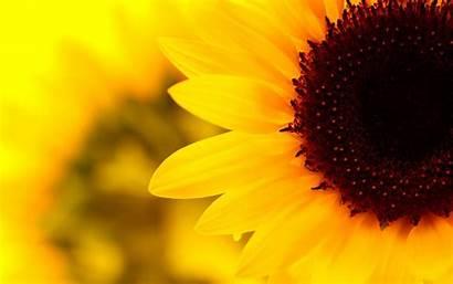 Sunflower Aesthetic Desktop Yellow Wallpapers Girassol Parede