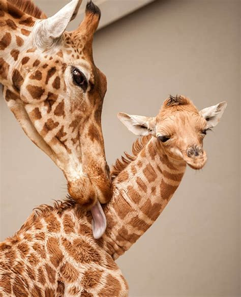 Baby Giraffe Snuggles Up To Mother In Adorable Photographs  Nature  News Expresscouk