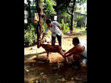 South korea later confirmed that four of the victims were of. Chinese Woman Killing A Goat - Goat Slaughter time ...