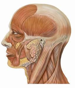 Facial Muscles Quiz