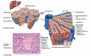 anatomy - Does the hepatic portal system form capillary ...