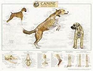 Canine Skeletal Anatomy Wall Chart #92515 Dog * | eBay