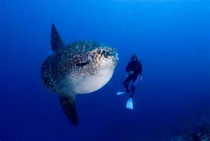 2011_03_10 Giant Sunfish and Madi