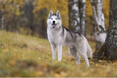 Breeds Dog Active Social Pet Pets4homes Husky