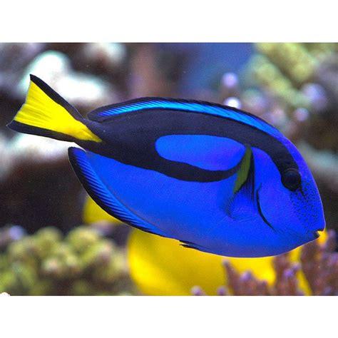 blue tang amazing amazon