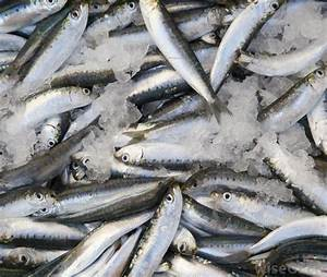 What is a Spanish Mackerel? (with pictures)