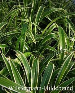 Zimmerpflanze Lange Grüne Blätter : dekopflanzen in der aquaristik ~ Markanthonyermac.com Haus und Dekorationen