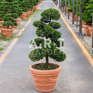 Arbre En Nuage : arbres nuages ilex crenata arbres nuage japonais bonsai geant en 2018 pinterest ~ Melissatoandfro.com Idées de Décoration