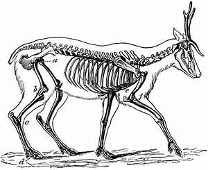 Skeleton Of The Deer
