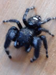 Black Fuzzy Spider with White Spots