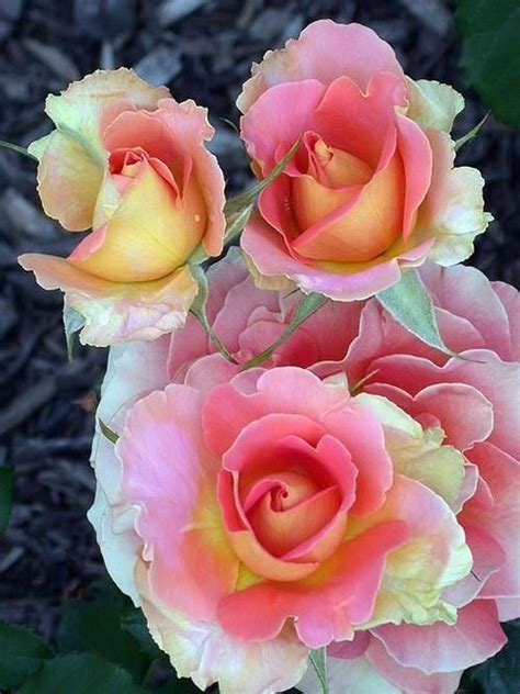 Pin by Anita Johnson on Roses | Beautiful flowers, Amazing ...