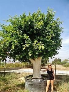 Ficus Benjamini Kaufen : gro en baum palme pflanze mallorca ibiza balearen kaufen frei haus ~ A.2002-acura-tl-radio.info Haus und Dekorationen