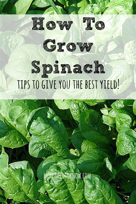 How To Grow Spinach In Your Garden  Moms Need To Know