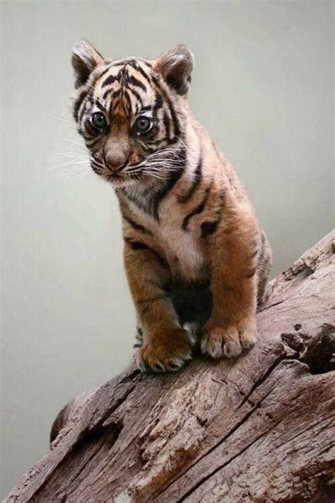 Cute Little Tiger Cub Big Cats Pinterest