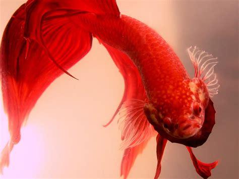 how do beta fish live how long do betta fish live in captivity