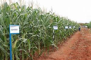 Drought tolerant maize lines at Kiboko, Kenya | Flickr ...