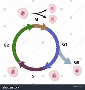 Cell Cycle Diagram Stock Vector 107637878