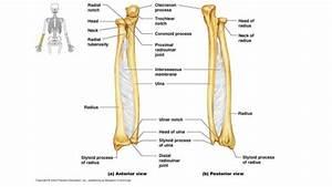 Dog Leg Bones Diagram