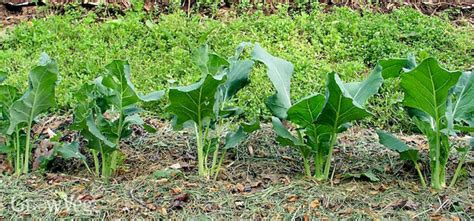 grass for vegetable gardens using grass clippings as vegetable garden mulch