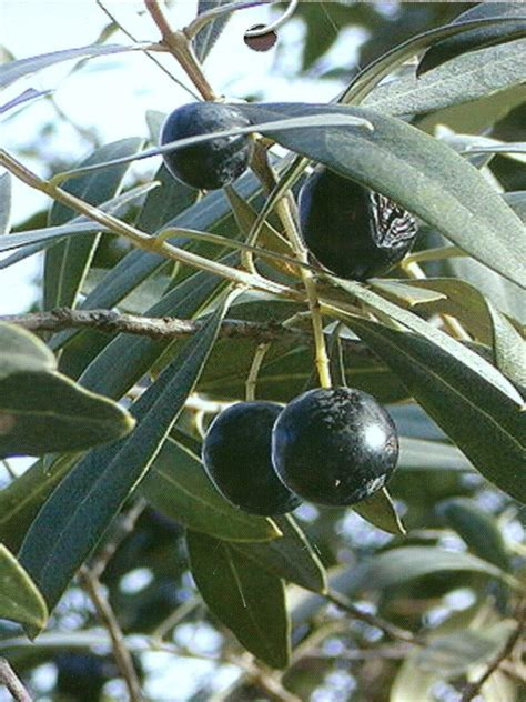 olive tree leaves olive trees arbequina plant me green 1179