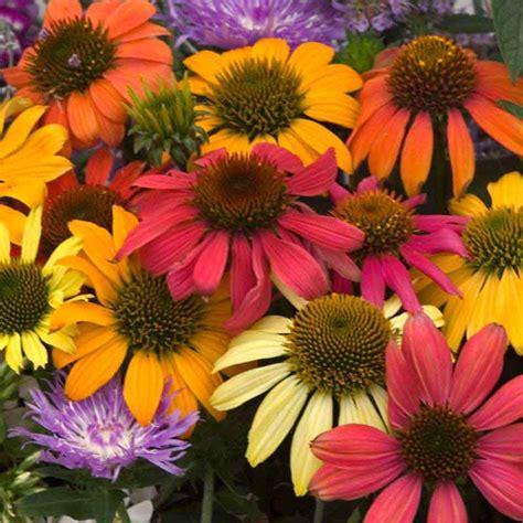 coneflower colors coneflower cheyenne spirit echinacea sun perennial mixed