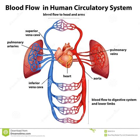 Circulatory System Diagram Labeled With Function  World Of Diagrams