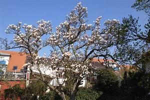 Magnolie Blüht Nicht : magnolien bl hen baum rosa bl ten fr hling ~ Buech-reservation.com Haus und Dekorationen