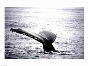 Humpback Whale Black and White Tail Photograph by Unknown ...