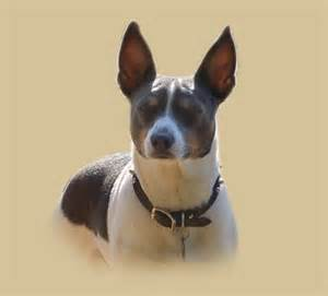 albums by pocomtuc rat terriers imageevent