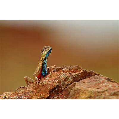 Fan Throated Lizard - Arindam Bhattacharya