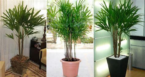 Como cuidar de uma palmeira-ráfia | Jardim das Ideias ...
